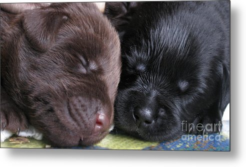 Labrador Metal Print featuring the photograph Black And Chocolat by Animal Fotos