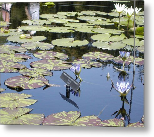 Lillies Metal Print featuring the painting Longwood Lillies by Randy Ford