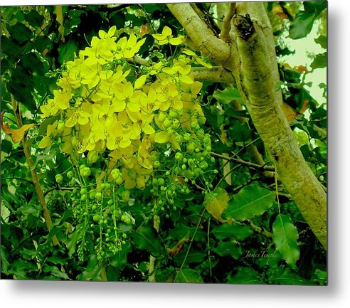 Under The Golden Shower Tree Metal Print featuring the photograph Under The Golden Shower Tree by James Temple
