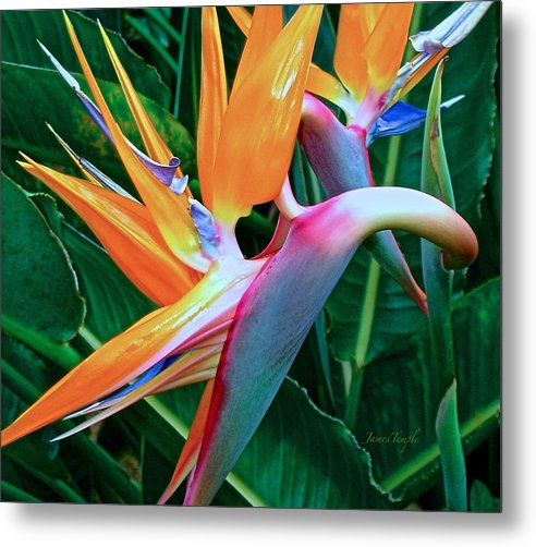 Bird Of Paradise Metal Print featuring the photograph Intertwine by James Temple