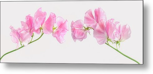 Photography Metal Print featuring the photograph Two Sweet Peas by Cora Niele