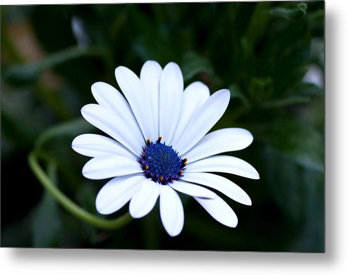 Osteospermum Metal Print featuring the photograph Osteospermum by Sorin Papuc
