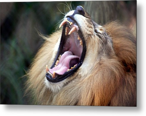 Lions Metal Print featuring the photograph Big Mouth by Edward Roman