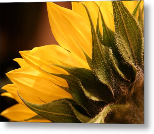 Sunflower Metal Print featuring the photograph Sunflower by Sally Engdahl