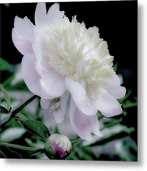 Peony in Bloom by Julie Palencia