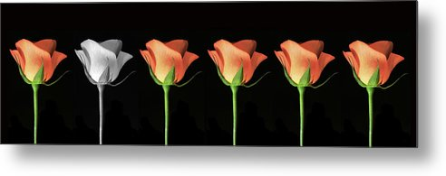 Poster Metal Print featuring the photograph Rose Poster. by Terence Davis