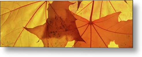Maple Metal Print featuring the photograph Autumn Leaves by Whispering Peaks Photography