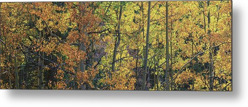 Colorful Colorado Turning Aspens Mountain Landscape Scene Metal Print featuring the photograph Colorful Changing Aspens Panorama - Divide Colorado by Brian Harig