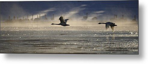 Light Metal Print featuring the photograph Trumpeter Swan Silhouetted In Flight by Peter Mather