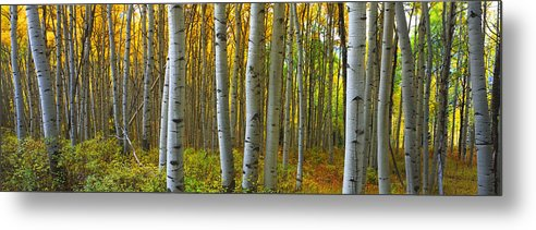 Colorado Metal Print featuring the photograph Into The Aspens by Eggers Photography