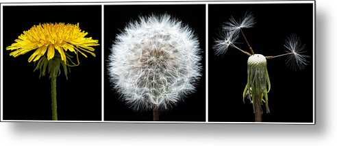Weed Metal Print featuring the photograph Dandelion Life Cycle by Steve Gadomski