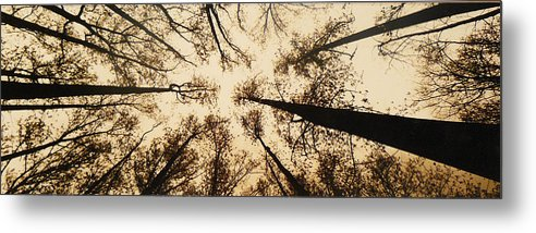 Trees Metal Print featuring the photograph Looking Up by Jack Paolini