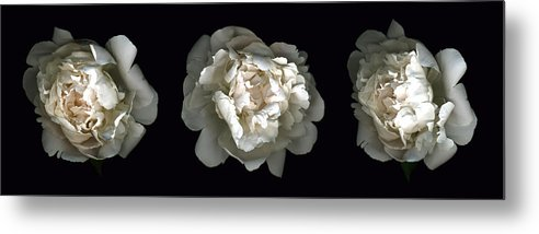 Scanography Metal Print featuring the photograph Peony Tryptic by Deborah J Humphries