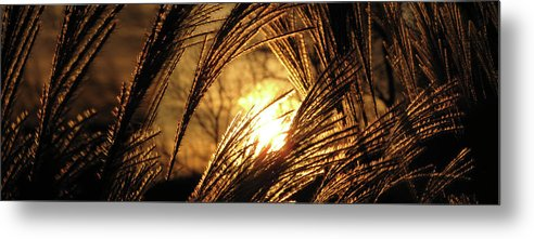 Sunset Metal Print featuring the photograph Sun In Grass Panoramic by Amy Tyler