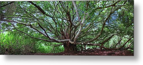 Hana Maui Hawaii Haleakala National Park Banyan Tree Metal Print featuring the photograph Banyan Tree by James Roemmling