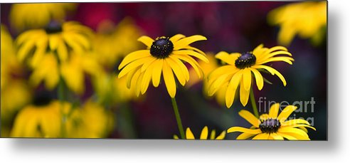 Rudbeckia Fulgida Metal Print featuring the photograph Late Summer Rudbeckia by Tim Gainey