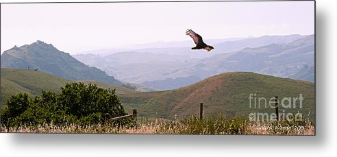 Paso Robles Metal Print featuring the photograph Soaring Over California - Condor In Morro Bay Coastal Hills by Artist and Photographer Laura Wrede