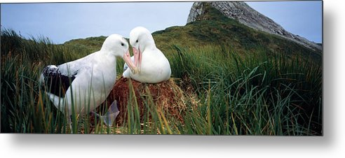 Photography Metal Print featuring the photograph Wandering Albatross Diomedea Exulans by Animal Images