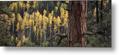 Outdoors Metal Print featuring the photograph A Ponderosa Pine Tree Among Aspen Trees by Bill Hatcher