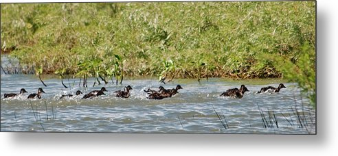 Waterfawls Metal Print featuring the photograph Duck Track Meet by Eric Nelson