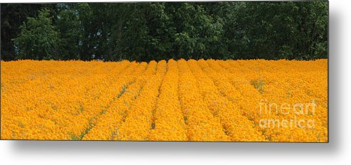 Oregon Metal Print featuring the photograph Oregon Orange Field Panoramic by Mike Nellums