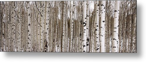 Aspen Metal Print featuring the photograph Aspens In Winter Panorama - Colorado by Brian Harig