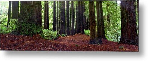 Redwood Trees Metal Print featuring the photograph Redwoods 1 by Wayne Bradbury Photography