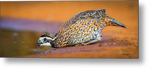 Northern Bobwhite Metal Print featuring the photograph Getting A Drink by Carol Fox Henrichs