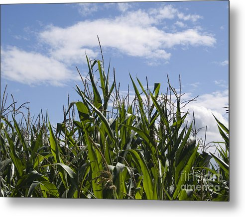 Maize Metal Print featuring the photograph Maize Crop by Steev Stamford