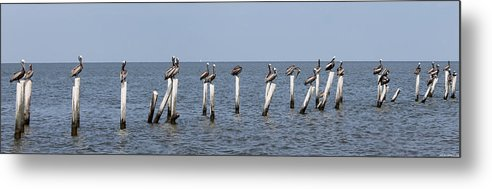 Pelican Metal Print featuring the photograph Pelican Parliament by Laura Martin