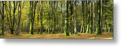 Scenics Metal Print featuring the photograph Interior Of Beech Tree Forest by Travelpix Ltd