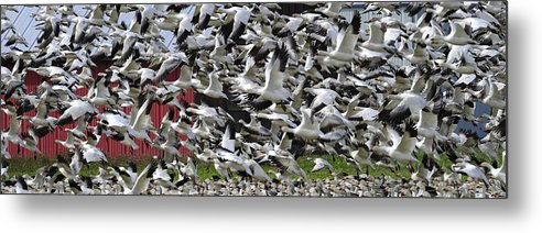 Wildlife Metal Print featuring the photograph Follow The Leader Pg013 by Yoshiki Nakamura