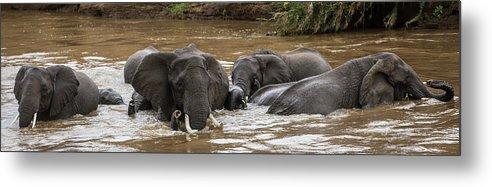 Kenya Metal Print featuring the photograph African Elephants Having A Bath In Mara by Manoj Shah