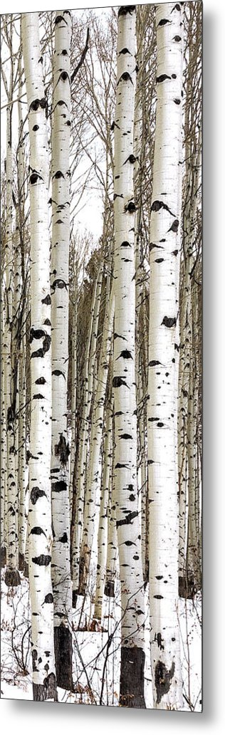 Aspens In Winter Vertical Panorama - Colorado by Brian Harig