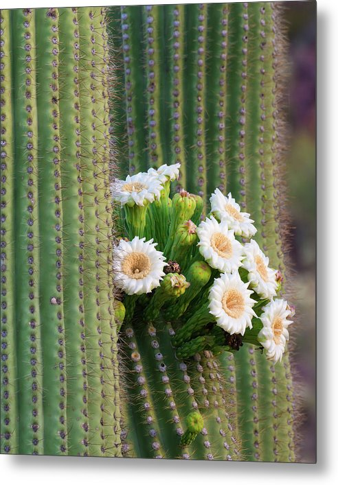 Saguaro Blossoms by Mikes Nature