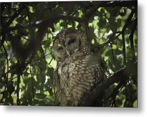 Yosemite Metal Print featuring the photograph Owl by Geert Mantel
