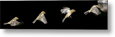 Bird In Flight Metal Print featuring the photograph Success by Gary Murison