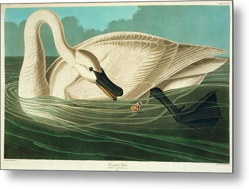 Trumpter Swan by Natural History Museum, London/science Photo Library