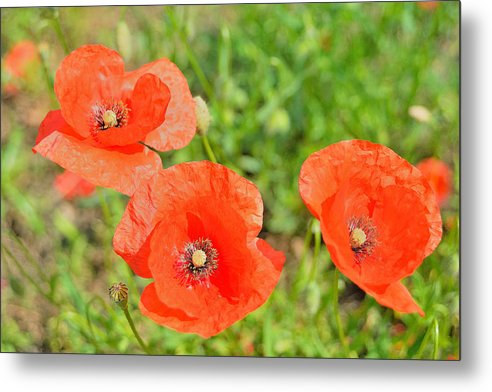 Trio Of Poppies Metal Print featuring the photograph Trio of poppies by Patrick Pestre