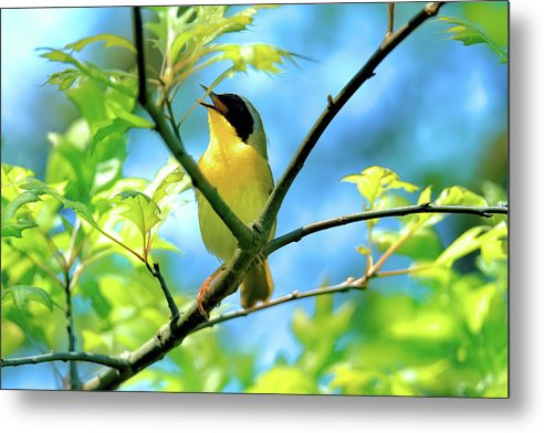 Common yellowthroat singing his little heart out by Geraldine Scull