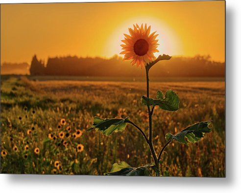 Sun-Flower-Syzygy -  lone sunflower with sun on ND roadside by Peter Herman