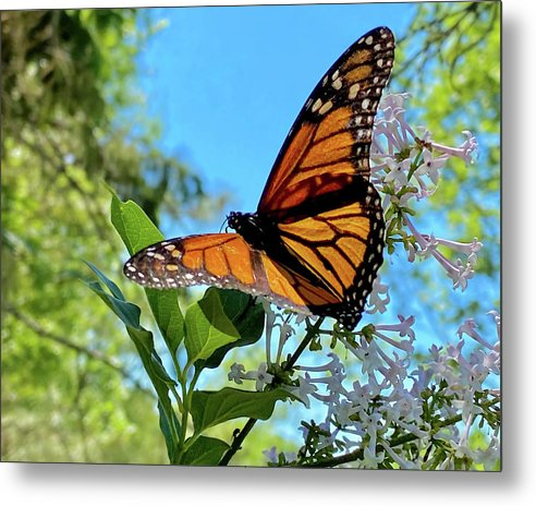 Monarch feeding on Lilac in summer sunlight by Peter Herman
