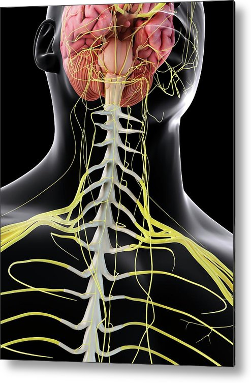Artwork Metal Print featuring the photograph Human Brain And Spinal Cord by Sciepro