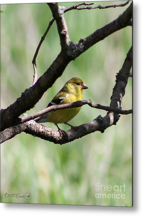 American Goldfinch Metal Print featuring the photograph Female American Goldfinch by J McCombie