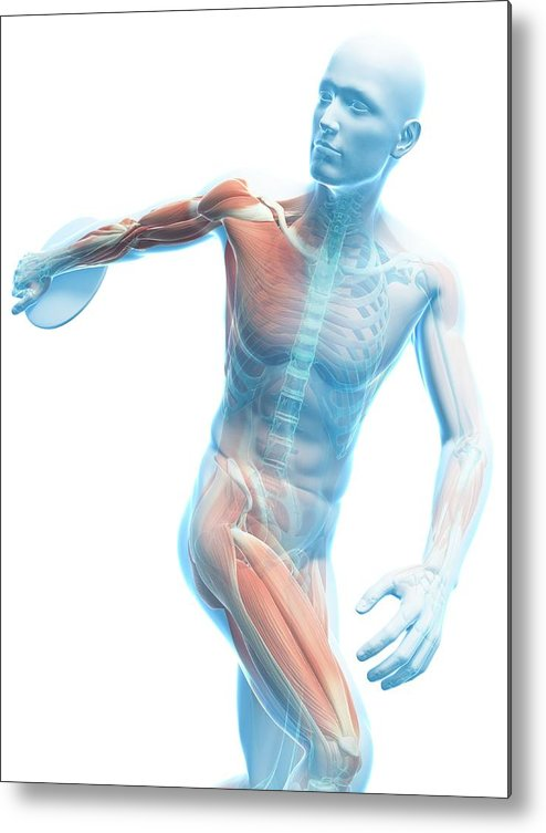 Artwork Metal Print featuring the photograph Male Musculature by Sciepro/science Photo Library