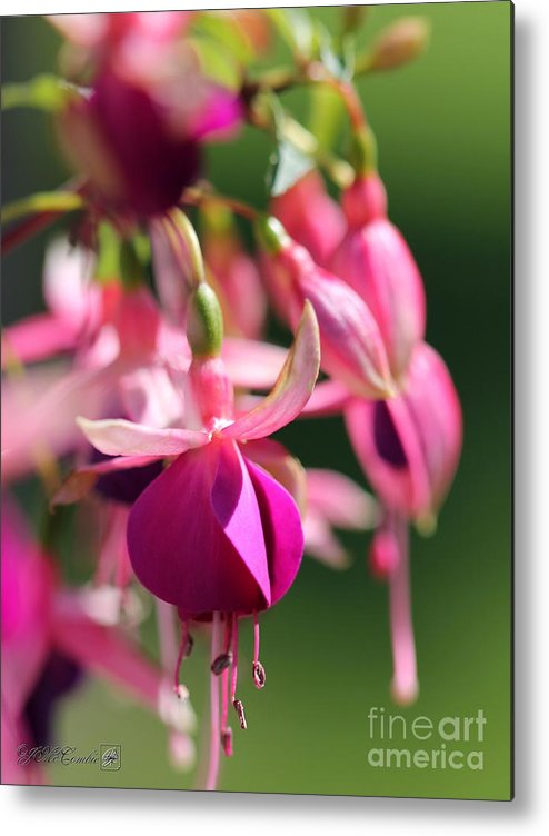 Mccombie Metal Print featuring the photograph Fuchsia Named Lambada by J McCombie