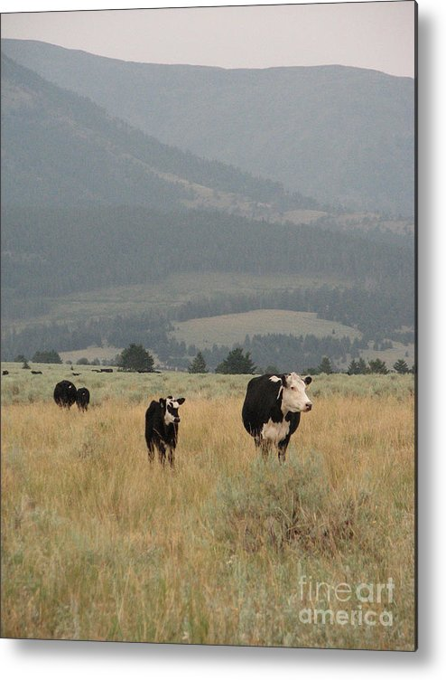 Cow Metal Print featuring the photograph A Montana Memory by Stacey May