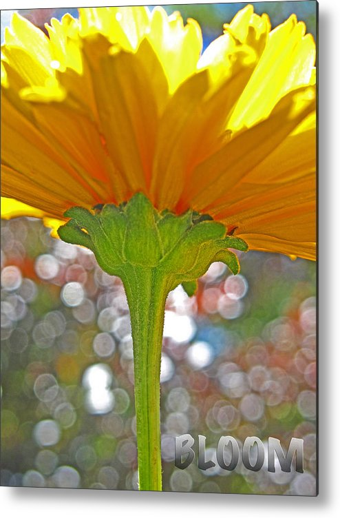 Flower Metal Print featuring the photograph Bloom Yellow Daisy by Debra Schwab