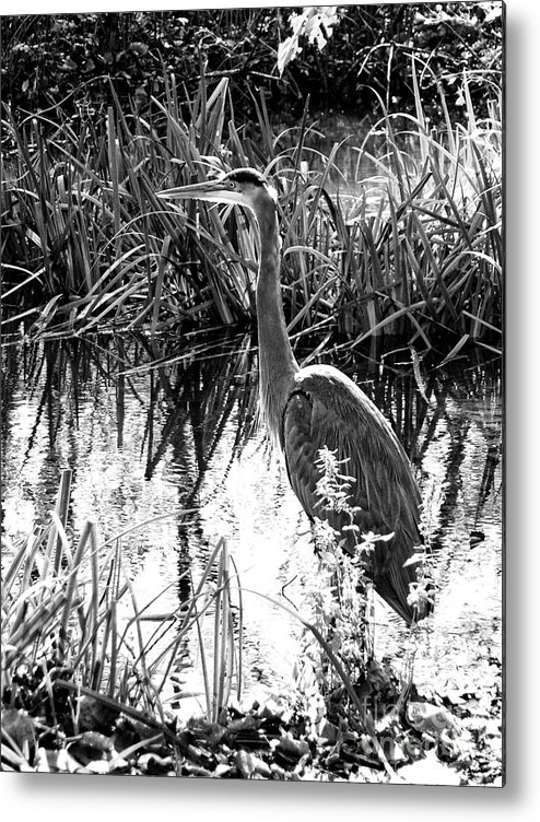 Landscape Metal Print featuring the photograph Blue Heron 4bw by Earl Johnson