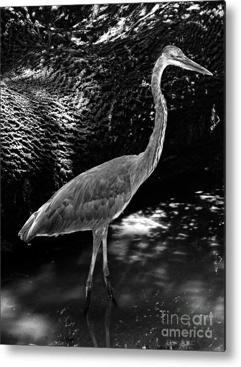 Landscape Metal Print featuring the photograph Blue Heron 8bw by Earl Johnson